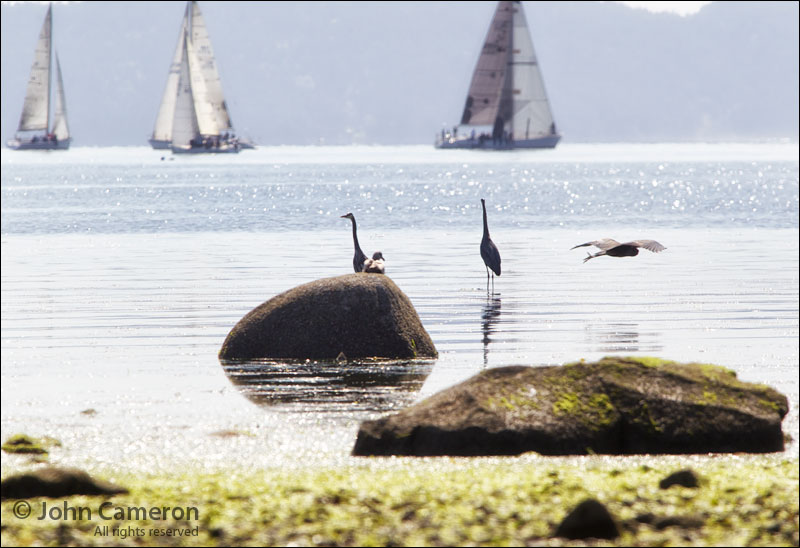 Wildlife watches the annual Round Salt Spring sailing race